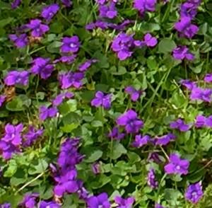 Violets10301445632_o